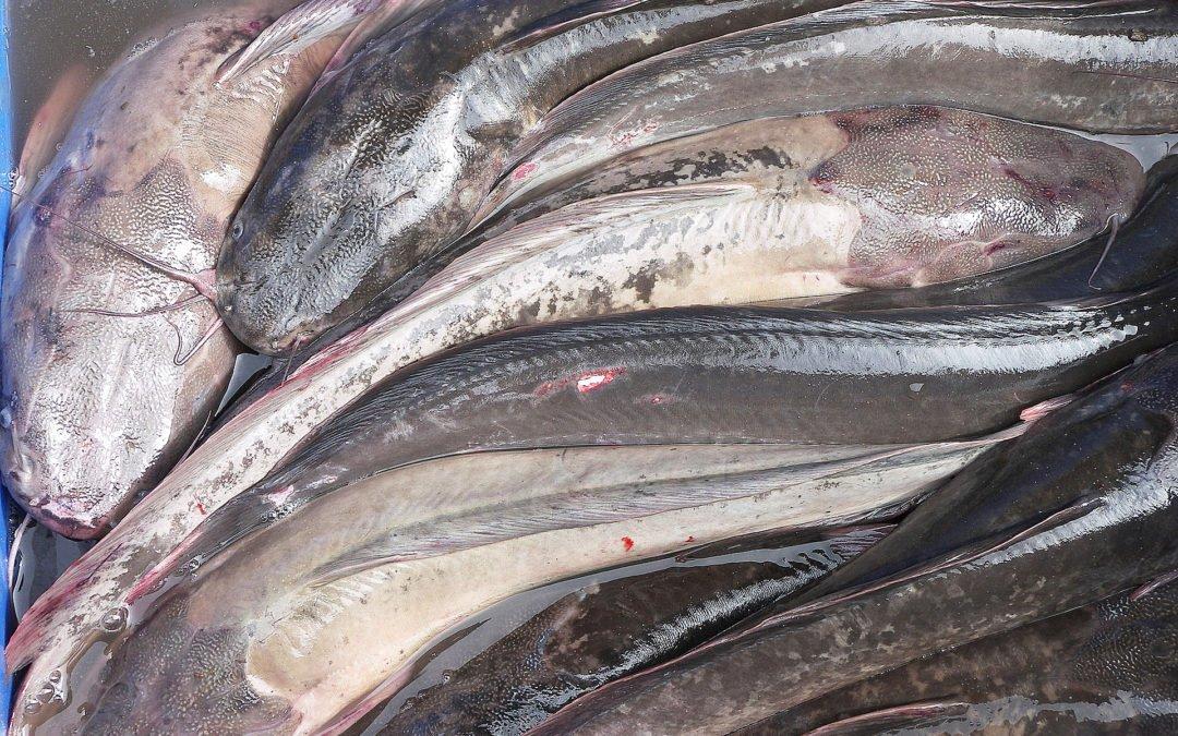 20 ton fisk i vagen for gardsagare