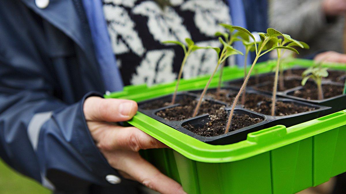 Späda plantor som ska planteras ut.