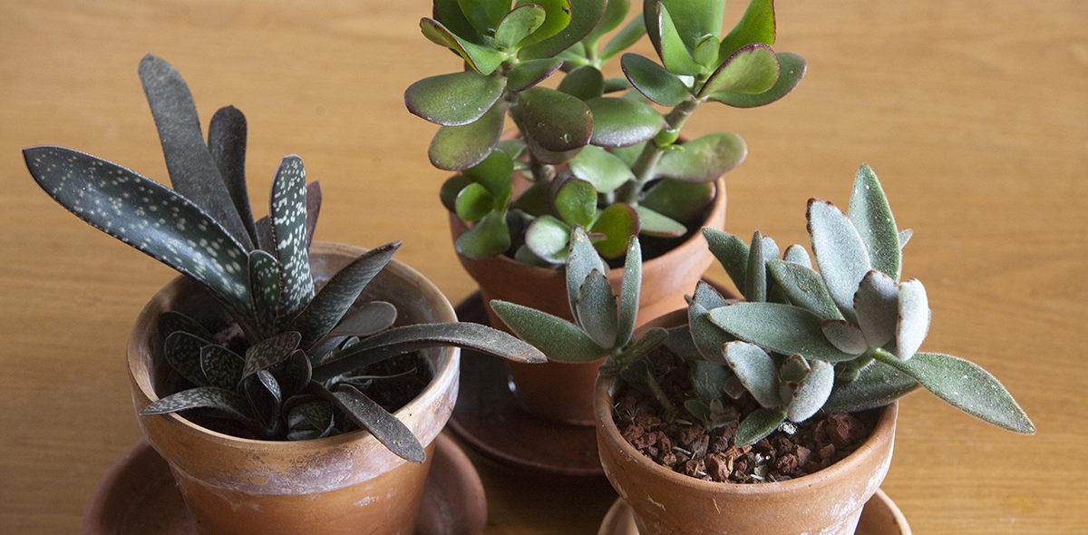 Kaktusar är inte de enda suckulenterna.