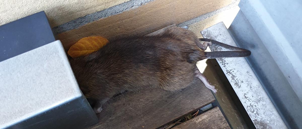 Råtta som fastnat med huvudet i råttfällan.
