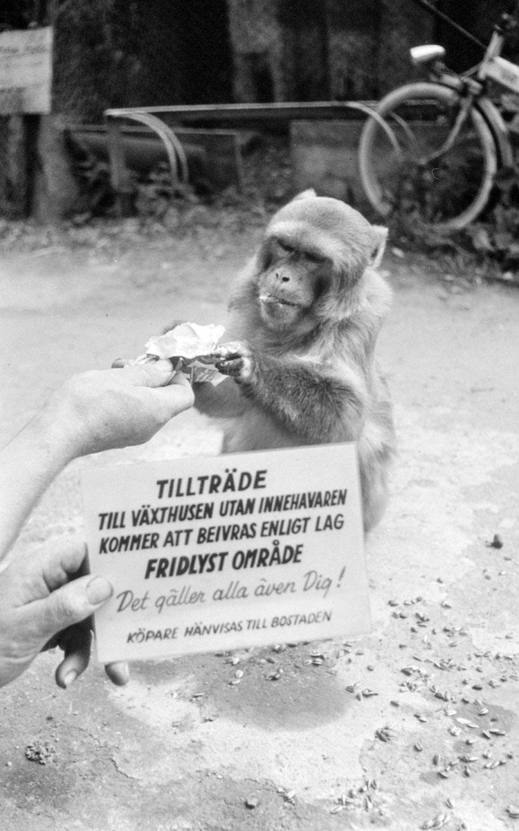 Bertil Andersson höll apor på handelsträdgården. Bild från 1980. Bilden är beskuren.